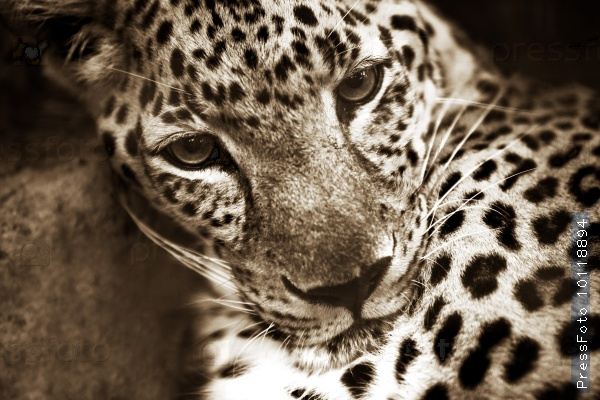 the-animals-you-must-see-project-by-ifaw-leopard