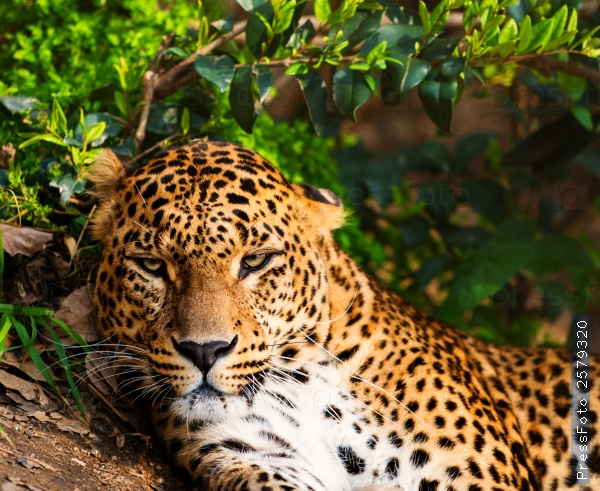 the-animals-you-must-see-project-by-ifaw-leopard2