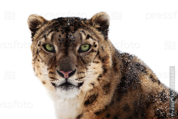 the-animals-you-must-see-project-by-ifaw-snowleopard