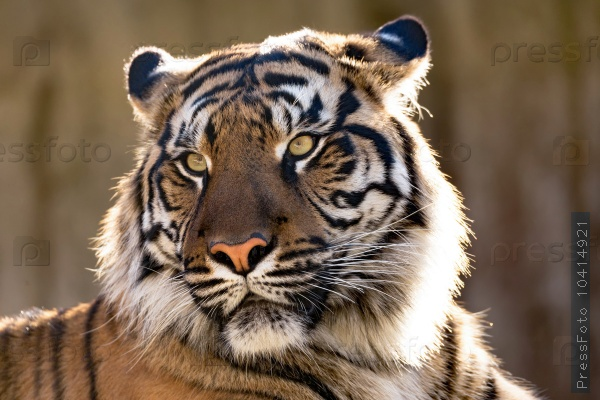 the-animals-you-must-see-project-by-ifaw-tiger
